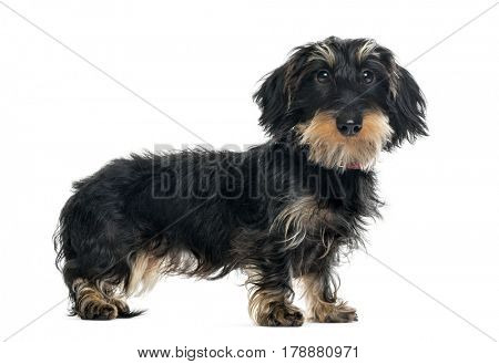 Daschund standing and looking at the camera, 1 year old, isolated on white
