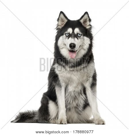 Siberian Husky sitting and looking at the camera, 3 years old, isolated on white