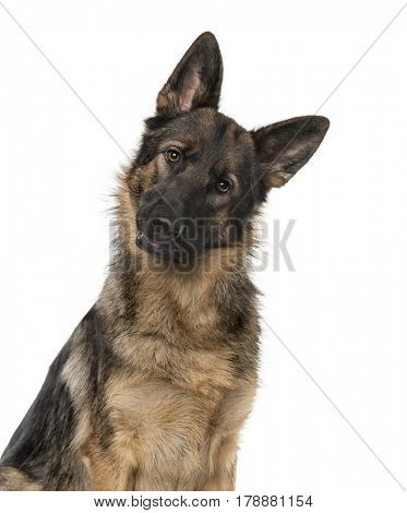 Close-up of a German Shepherd Dog staring at the camera, 21 months old, isolated on white