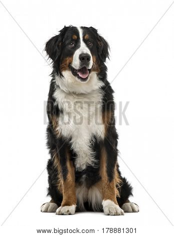 Bernese Mountain Dog sitting, 1 year old , isolated on white