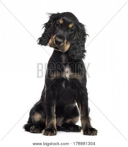 English cocker spaniel sitting, isolated on white