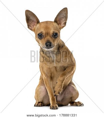 Chihuahua sitting, 3 years old , isolated on white