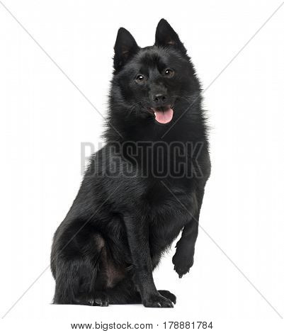 Schipperke sitting and panting, 2 years old , isolated on white