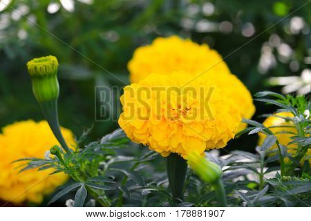 marigold yellow-orange flower blooming beautiful in garden : Select focus with shallow depth of field. (Tagetes erecta Mexican marigold Aztec marigold African marigold)
