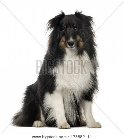 Berger Shetland sitting, 18 months old , isolated on white poster