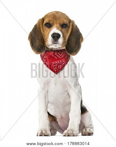 A Beagle puppy with a scarf sitting, isolated on white, 9 weeks old