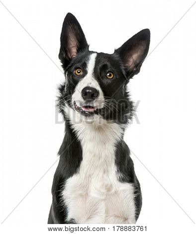 Border Collie looking away, isolated on white, 1 year old