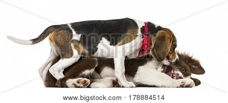 Puppies Border Collie fighting, isolated on white,15 weeks old