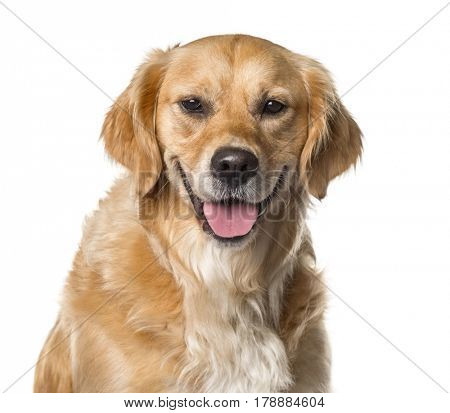 Close-up of a golden Retriever panting , isolated on white