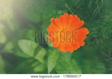 Beautiful flower background. Calendula officinalis, bright orange medicinal herb in summer garden.