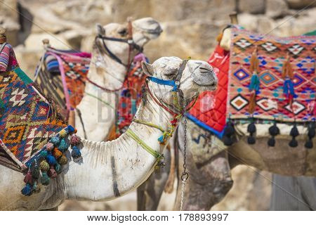 Bedouin camels rest near the Pyramids Cairo Egypt