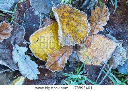 Close up of frosted autumn leaves on a cold winters morning