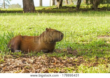 Capybara Sleeping With Eyes Closed