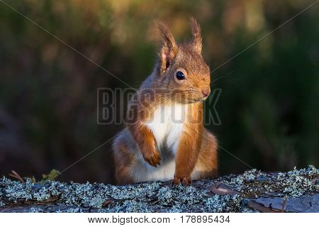Red Squirrel (sciurus vulgaris) sat on the ground Caledonian Forest ScotlandUK