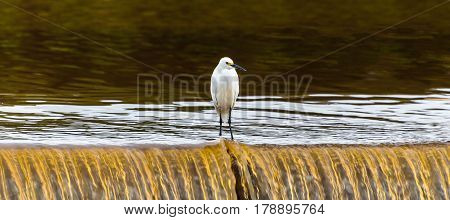 Snowy Egret On A Waterfall Of A Lake