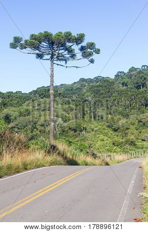 Road And Araucaria Angustifolia Forest