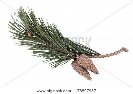 Green pine branch with cones on a white background, isolated object