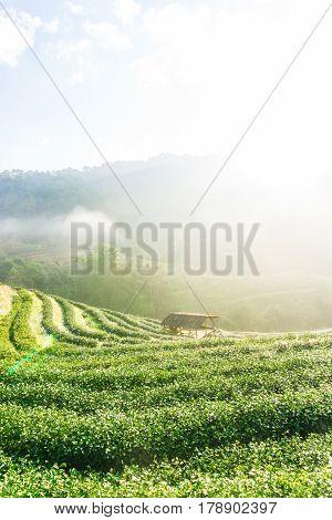 Tea Plantation Field Sunrise