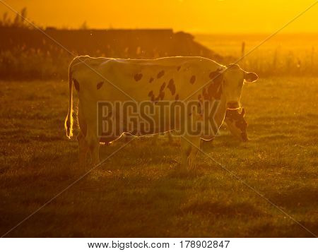 Cow Orange Silhouette