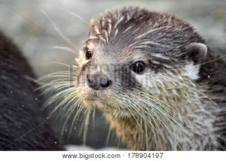 Portrait of the otter, close-up photography of the head