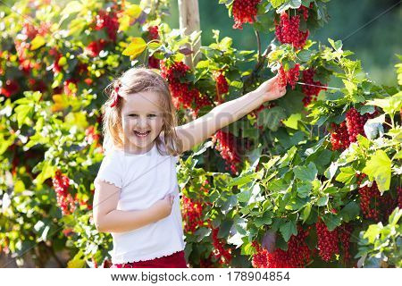 Little girl picking fresh ripe berry from red currant bush in sunny summer garden. Healthy nutrition for kids. Bio fruit for children.