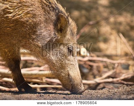 Wild Boar Female