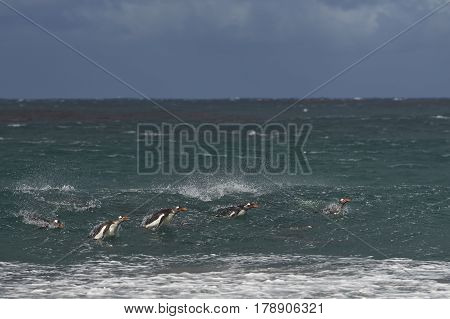 Group of Gentoo Penguins (Pygoscelis papua) swimming in the sea on the coast of Sealion Island in the Falkland Islands.
