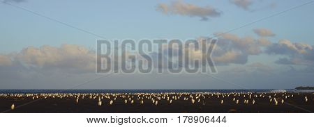 Large numbers of Gentoo Penguins (Pygoscelis papua) returning to their colony at dusk after a day feeding out at sea. Sealion Island in the Falkland Islands.