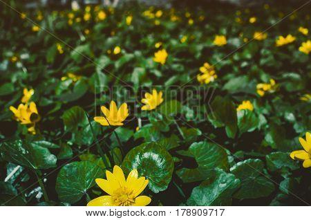Flowering Bright Yellow Marsh Marigold Caltha Palustris , Background