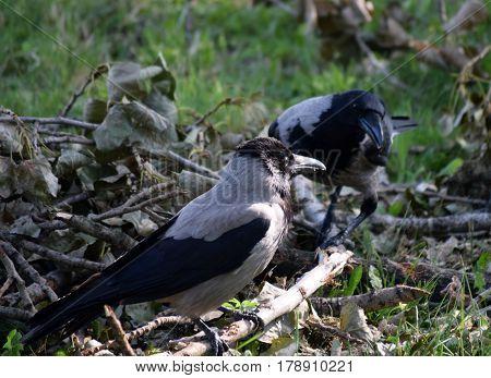 Two magpies looking for food among the broken branches