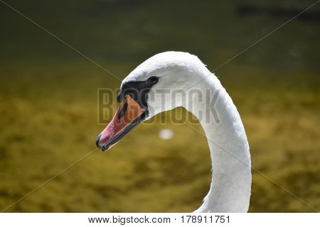 Portrait of a white swan, only the head and neck