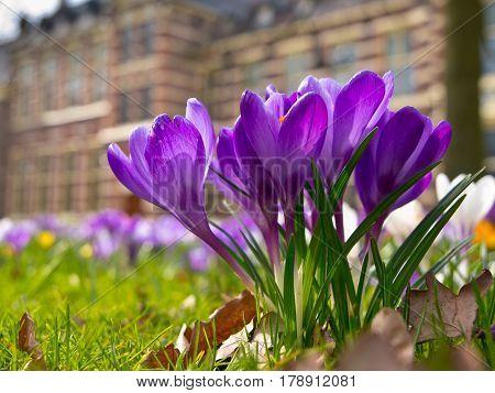 Blooming Purple Crocus