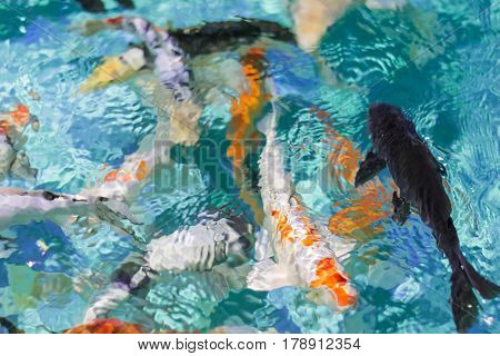 Abstraction with blurred background of colorful fish in the pond. The play of colours of nature.