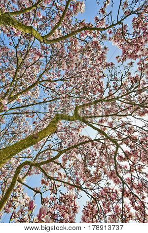 Beautifull Magnolia Tree And Flowers In Easter