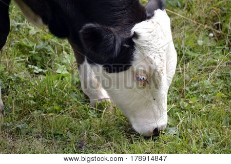 close-up of the young bull on green meadow eating grass