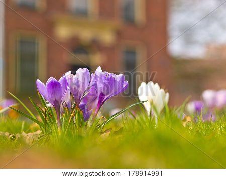 Violet Blooming Crocus