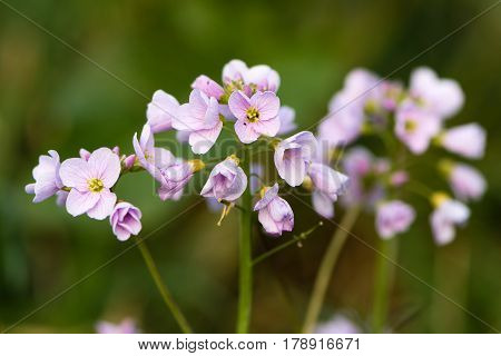Cuckooflower or lady's smock (Cardamine pratensis) flower spikes. Perennial plant in the cabbage family (Brassicaceae) flowering in Spring in the UK