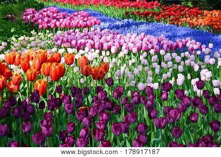 Colorful tulips in the Keukenhof garden, Holland Netherlands