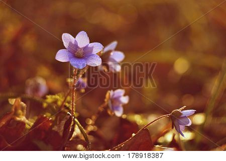 Spring flower. Old lens photo. Beautiful blooming first small flowers in the forest. Hepatica. (Hepatica nobilis)
