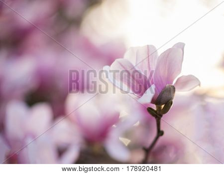 Fully bloomed lotus magnolia flower with soft background