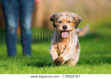 Cute Older Dog Runs On The Meadow