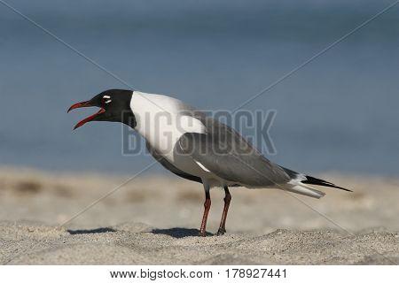 A Laughing Gull, Leucophaeus atricilla in breeding plumage calling on a beach in Florida