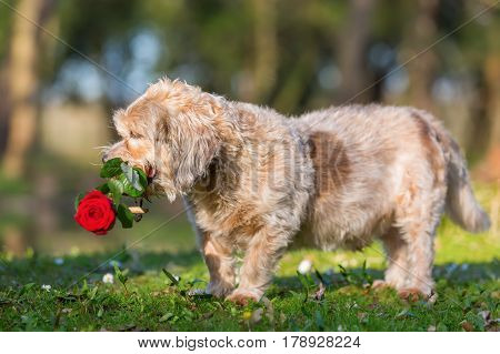 Cute Older Dog With A Rose In The Snout