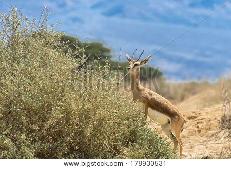Dorcas gazelle (Gazella dorcas) inhabits nature desert reserve near Eilat, Israel. Expanding human civilization in the Middle East is a major threat to populations of this species