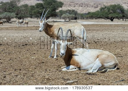 Sahara antelope scimitar Oryx (Oryx leucoryx). Due to danger of extinction, the species was introduced and adopted in nature reserve near Eilat, Israel