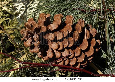 Closeup view of a pine cone within the branches.