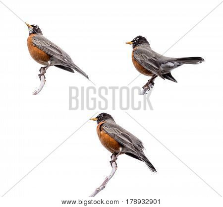 Robins Perched on the Tree Isolated on White