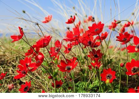 Blooming flowers of poppy anemone or Anemone coronaria on a background of grass and blue sky. Horizontal. Selective focus. Close up. Greece Trikala March 2017.