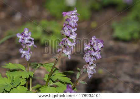 Hollowroot (Corydalis cava) three plants flowering in an Arboretum