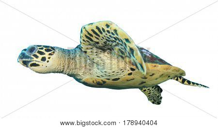 Sea Turtle isolated. Hawksbill Turtle on white background